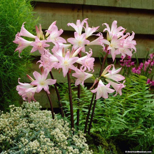 Belladonna Lilie-giftige-Pflanzen-fuer-Hunde